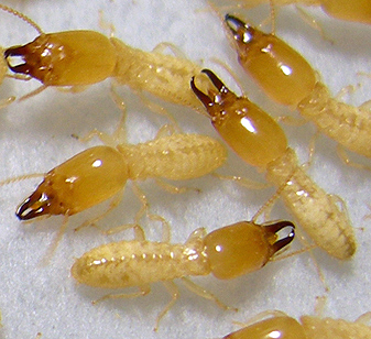 Above Ground Swimming Pool Liner Termites